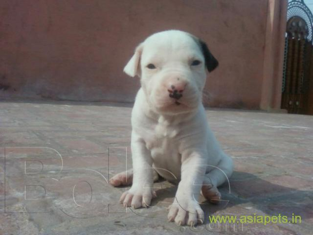 Pakistani bully dogs Puppies for sale good price in delhi | India