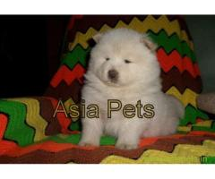Chow chow  Puppies for sale good price in delhi