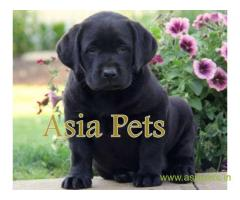 Labrador  Puppies for sale good price in delhi
