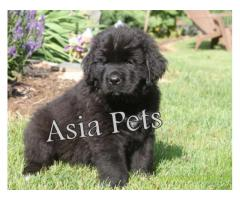 Newfoundland  Puppies for sale good price in delhi