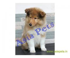 Rough collie  Puppies for sale good price in delhi