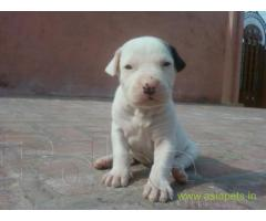 Pakistani bully dogs  Puppy for sale good price in delhi