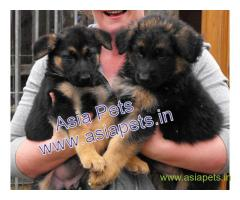 German Shepherd  Puppy for sale good price in delhi