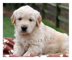 Golden retriever  Puppy for sale good price in delhi