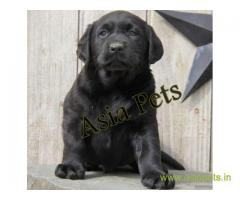 Labrador  Puppy for sale good price in delhi