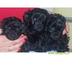 Poodle  Puppy for sale good price in delhi