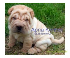 Shar pei  Puppy for sale good price in delhi