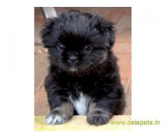 Tibetan spaniel  Puppy for sale good price in delhi
