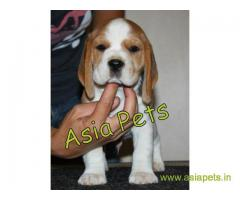 Beagle  Puppy for sale best price in delhi