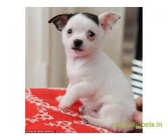 Chihuahua Puppy For Sale in Kathmandu | Best Price in Nepal