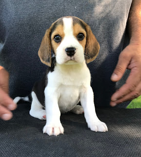 beagle puppy price in delhi