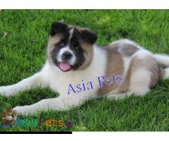Akita Puppy price in India, Akita Puppy for sale in India