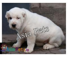 Alabai Puppy price in India, Alabai Puppy for sale in India
