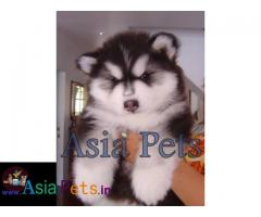 Alaskan malamute Puppy price in India, Alaskan malamute Puppy for sale in India