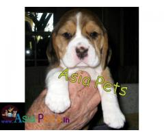 Beagle Puppy price in India, Beagle Puppy for sale in India