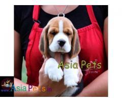 Beagle puppies price in delhi, Beagle puppies for sale in delhi