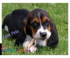 Basset hound puppies price in delhi, Basset hound puppies for sale in delhi