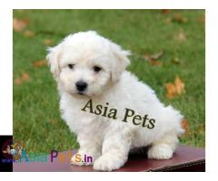 Bichon frise puppies price in delhi, Bichon frise puppies for sale in delhi