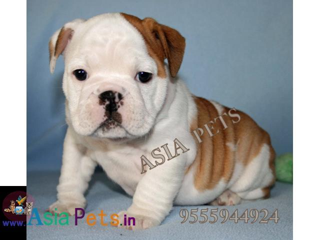 Bulldog puppies price in delhi, Bulldog puppies for sale in delhi