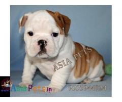 Bulldog puppies price in delhi, Bulldog puppies for sale in delhi