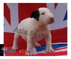 Bullterrier puppies price in delhi, Bullterrier puppies for sale in delhi