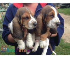 Basset hound Puppy price in India, Basset hound Puppy for sale in India