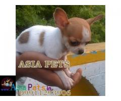 Chihuahua puppies price in delhi, Chihuahua puppies for sale in delhi
