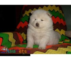 Chow chow puppies price in delhi, Chow chow puppies for sale in delhi