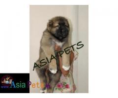 Cane corso puppies price in delhi, Cane corso puppies for sale in delhi