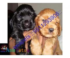 Cocker spaniel puppies price in delhi, Cocker spaniel puppies for sale in delhi