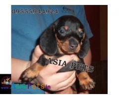 Dachshund puppies price in delhi, Dachshund puppies for sale in delhi