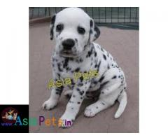Dalmatian puppies price in delhi, Dalmatian puppies for sale in delhi