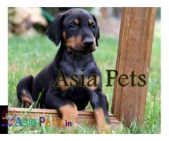 Doberman puppies price in delhi, Doberman puppies for sale in delhi