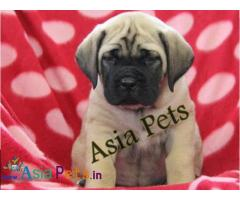 English Mastiff puppies price in delhi, English Mastiff puppies for sale in delhi