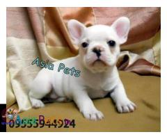 French Bulldog puppies price in delhi, French Bulldog puppies for sale in delhi