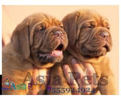 French Mastiff puppies price in delhi, French Mastiff puppies for sale in delhi