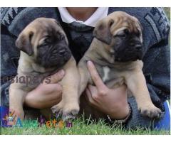 Bullmastiff Puppy price in India, Bullmastiff Puppy for sale in India