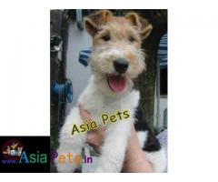 Fox Terrier puppies price in delhi, Fox Terrier puppies for sale in delhi