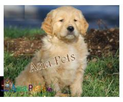 Golden retriever puppies for sale in delhi, Golden retriever puppies for sale in delhi