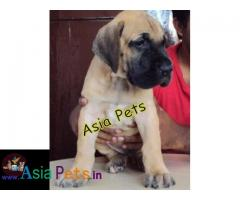 Great dane puppies price in delhi, Great dane puppies for sale in delhi