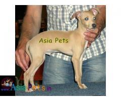 Greyhound puppies price in delhi, Greyhound puppies for sale in delhi