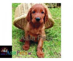 Irish setter puppies price in delhi, Irish setter puppies for sale in delhi