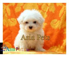 Maltese puppies price in delhi, Maltese puppies for sale in delhi