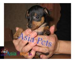 Miniature pinscher puppies price in delhi, Miniature pinscher puppies for sale in delhi