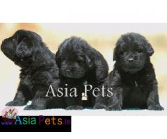 Newfoundland puppies price in delhi, Newfoundland puppies for sale in delhi