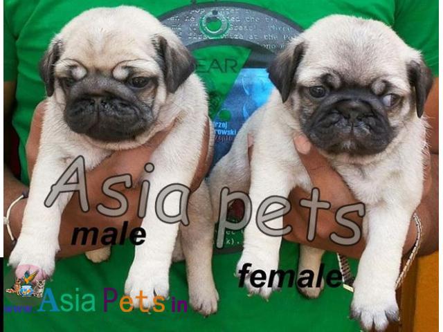 Pug puppies price in delhi, Pug puppies for sale in delhi