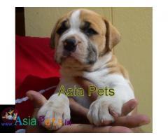 Pitbull puppies price in delhi, Pitbull puppies for sale in delhi