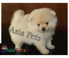 Pomeranian puppies price in delhi, Pomeranian puppies for sale in delhi
