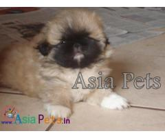 Pekingese puppies price in delhi, Pekingese puppies for sale in delhi