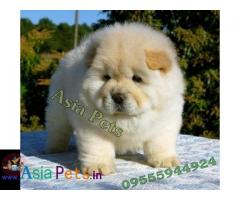 Chow chow Puppy price in India, Chow chow Puppy for sale in India